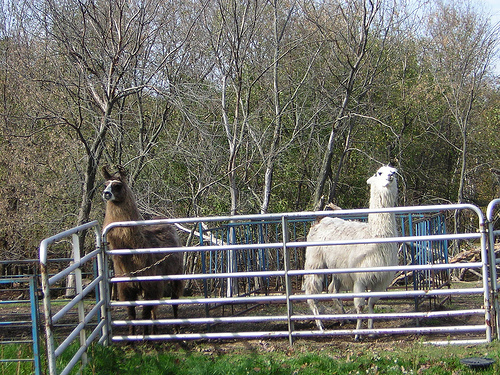 The cream colored llama was not a happy camper!